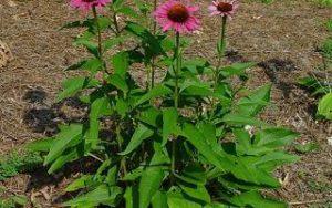Echinacea-biljka